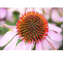 Echinacea Photographic Print