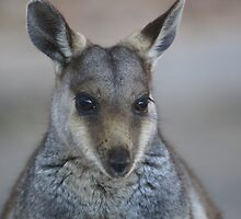 The black-footed rock wallaby by tarnyacox