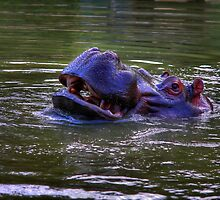 Hippopotamus amphibius by Eben Venter
