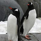 Pair of gentoo penguins by cascoly