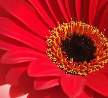 Red Gerbera 2 by HippyDi