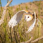 Barn Owl in Flight by Robert Kelch, M.D.