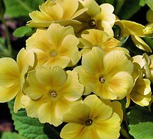 Yellow Primrose by SmilinEyes