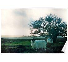 exmoor sheep Poster