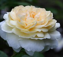 Soft Yellow Rose by SmilinEyes