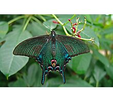 Chinese Peacock Butterfly Photographic Print