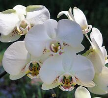 White Orchid by SmilinEyes