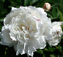 Peony Phases by SmilinEyes