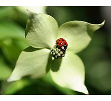 Ladybug On Dogwood Flower Photographic Print