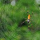Golden Silk Orbweaver by Rebecca Cruz