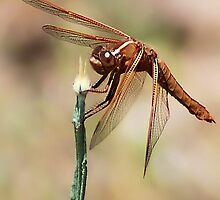 Flame Skimmer Dragonfly by Lenny La Rue, IPA