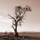 Lonely old Paddock Tree by Brad Holton