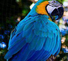 pappagallo blu by Andrea Rapisarda