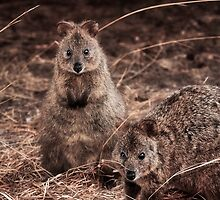 Quokkas - Western Australia (Galaxy Case) by Dave Catley