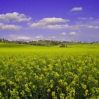 Canola by Simmone