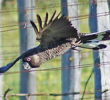 Carnaby's Black Cockatoo, Western Australia (Y) by Adrian Paul