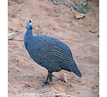 Helmeted Guinea Fowl Moremi National Park Botswana Photographic Print