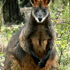 Swamp Wallaby by Ern Mainka