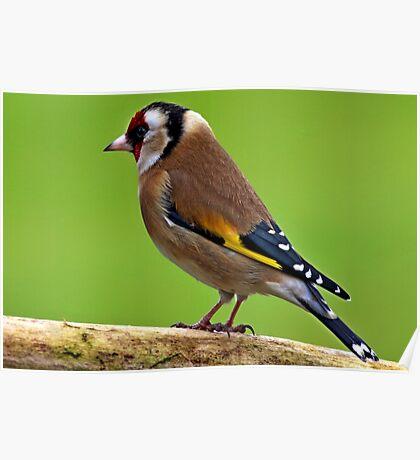 European Goldfinch - Carduelis carduelis Poster