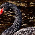 beautiful black swan by supergold