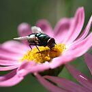 Beautiful Blow-Fly by Pene Stevens