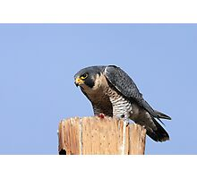 Peregrine Falcon #1 Photographic Print