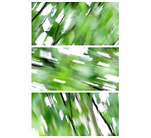 The wind in the Birch Photographic Print