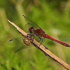 Ruddy Darter Dragonfly by Robert Abraham