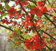 Bright Red Blossoms by SmilinEyes