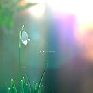 """ Morning Snowdrop "" by Richard Couchman"