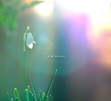 """"""" Morning Snowdrop """" by Richard Couchman"""