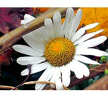 Autumn Daisy Photographic Print
