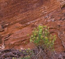 rabbit brush against canyon wall by David Chesluk