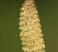 Horsetail Plant Tip  by Stanislav Sokolov