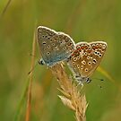 Common Blue Butterfly by Robert Abraham