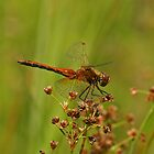 Yellow-Winged Darter Dragonfly by Robert Abraham