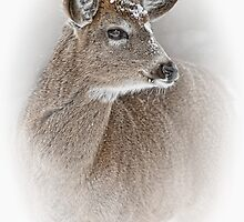 White-tailed Deer by Michael Cummings