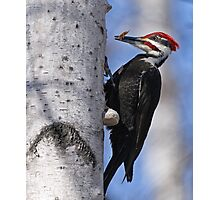 Male Pileated Woodpecker - Ottawa, Ontario Photographic Print