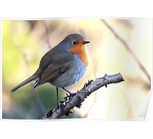 European Robin - Erithacus Rubecula - Robin Red Breast Poster