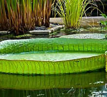 Giant Lilly pad by Nala