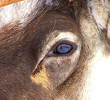 A Reindeers Eye on the World by Allan McKean