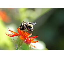 Bee Stealth Photographic Print