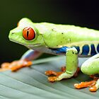 Red-Eyed Tree Frog by Dennis Stewart