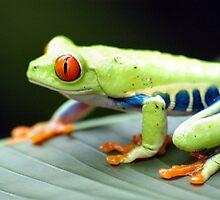 Red-Eyed Tree Frog by Dennis Stewart
