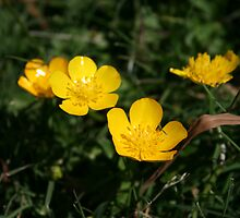 Yellow Buttercup Family by Dlight