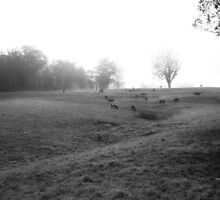 Cows In The Mist, Kangaroo Valley  by SkyPhotos