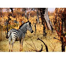 Zebras at sunset Photographic Print