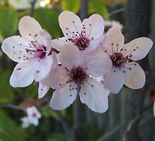 Peach Blossom by Steve9