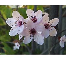 Peach Blossom Photographic Print