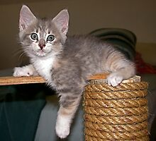 Clarissa as a Kitten by LifeInMaine